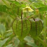 Chia sẻ kinh nghiệm trồng cây tầm bóp