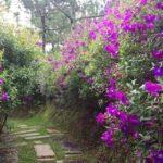 Kỹ thuật trồng cây hoa sim đẹp
