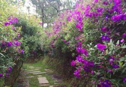 Hàng rào bằng hoa sim luôn mang lại cảm giác thư thái cho người nhìn