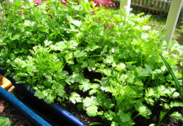 Cách trồng rau mùi hiệu quả tại nhà