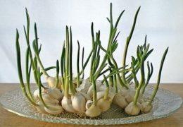 Cách trồng tỏi đơn giản cho năng suất vượt trội