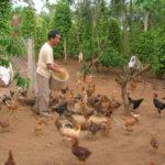 Gà thả vườn cần cung cấp những thức ăn gì?