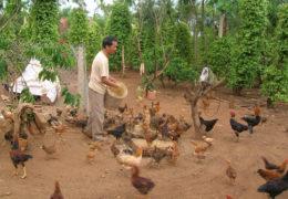 Thức ăn cho gà thả vườn