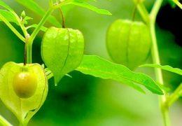 Chia sẻ cách trồng cây thù lù chuẩn nhất