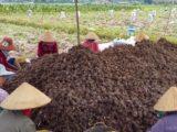 Cách trồng khoai môn cho mùa bội thu