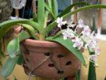 Kỹ thuật trồng lan trong giỏ như thế nào là đúng?