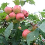 Kỹ thuật trồng táo tây tại nhà trái ngọt quanh năm