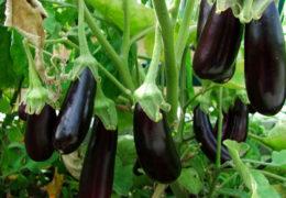Cách trồng cà tím tại nhà trên sân thượng