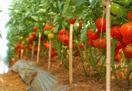 Cách trồng cây cà chua cho ra nhiều quả