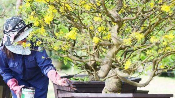 Cách chăm sóc cây mai và bón phân đúng cách