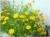 Cách chăm sóc hoa cúc đơn giản tại nhà