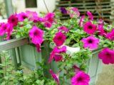 Cách chăm sóc hoa dạ yến thảo cho ra nhiều hoa