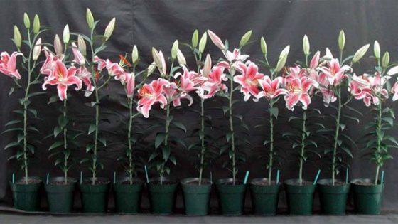 Cách chăm sóc hoa lily đúng cách