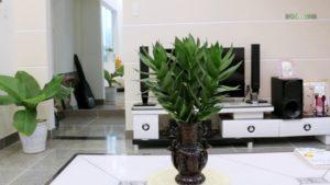 Chăm sóc cây phát tài búp sen đúng cách tại nhà