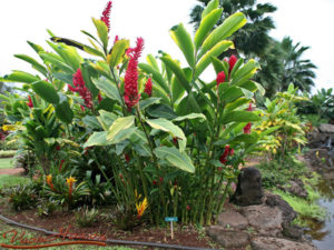 Kỹ thuật trồng và cách chăm sóc cây Phúc Lộc Thọ