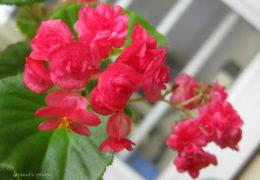 Cách chăm sóc thu hải đường cho hoa nở đẹp