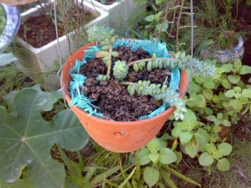 Cách trồng cây chuỗi ngọc bi trang trí cho căn phòng thêm xinh