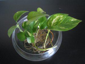 Những lưu ý về cách trồng cây Trầu Bà thủy sinh