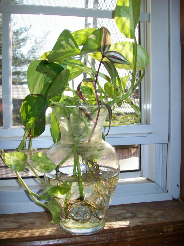 Mẫu cây trầu bà thủy sinh đặt cạnh cửa sổ trong nhà