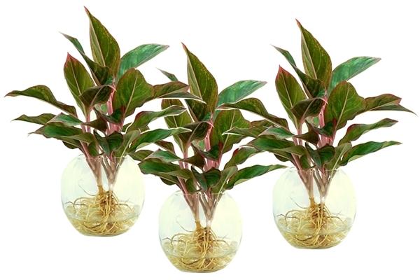 Hướng dẫn chi tiết cách trồng cây Phú Quý