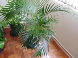Cách trồng cây Cau Tiểu Trâm và ý nghĩa của cây