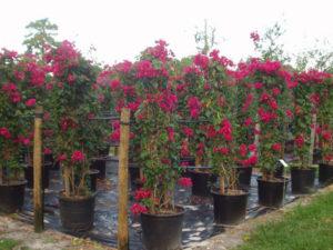 Rực rỡ khu vườn từ cách trồng cây hoa giấy đơn giản