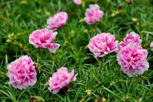 Cách trồng hoa mười giờ cho hoa nở rộ khắp vườn