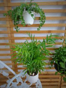 Cây Cau Tiểu Trâmcó tán lá xanh mướt như cây dừa mini, mang đến một không gian trong lành tự nhiên, cải thiện tâm trạng con người. Sau đây là những lưu ý về cách trồng cây Cau Tiểu Trâm và ý nghĩa của cây