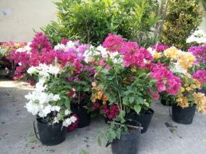Kỹ thuật trồng cây hoa giấy trong chậu