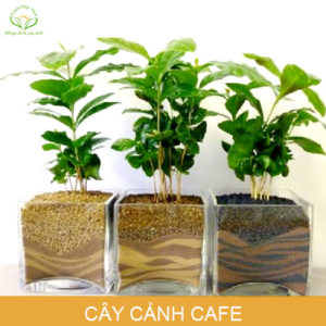 cay-canh-cafe-phong-thuy-trong-nha