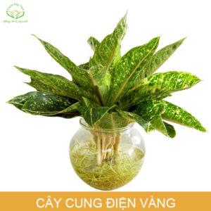 cay-cung-dien-vang-trong-nuoc-phong-thuy-trong-nha