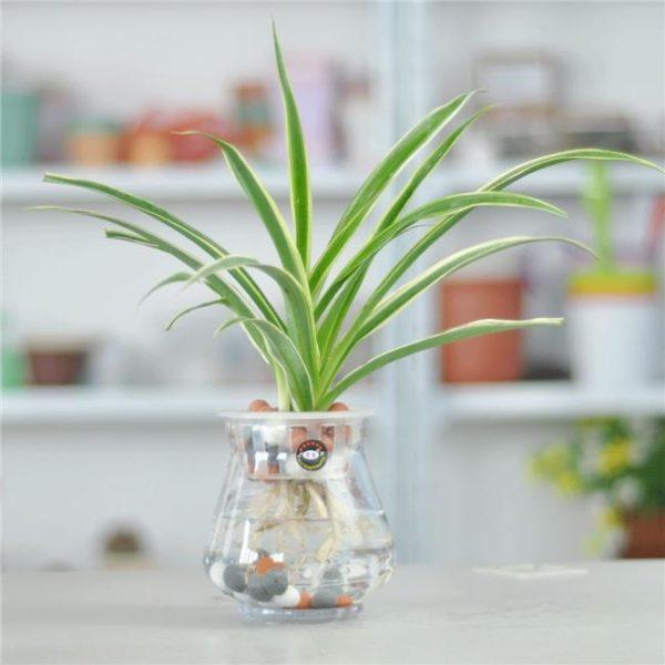 Cách trồng cây dây nhện trang trí cho căn nhà thêm sinh động