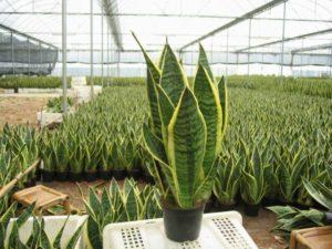 Cách trồng cây lưỡi hổ xanh tốt
