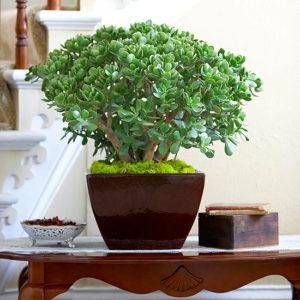 Bật mí cách trồng cây ngọc bích của chuyên gia cây cảnh
