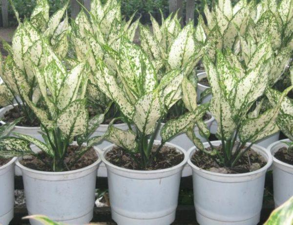 Cách trồng cây ngọc ngân và những lưu ý khi trồng