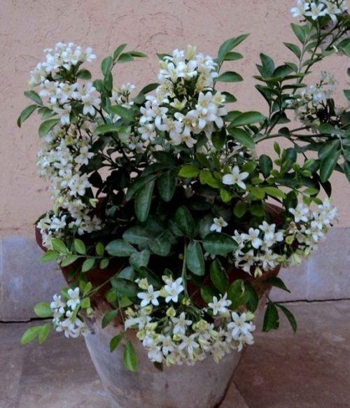 Cây nguyệt quế trồng trong nhà cần lưu ý những điều gì?