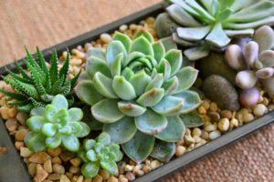 Hướng dẫn cách trồng cây sen đá đơn giản