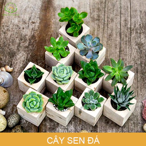 cay-sen-da-phong-thuy-trong-nha