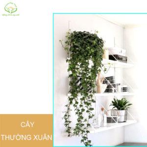 cay-thuong-xuan-day-treo-phong-thuy-trong-nha
