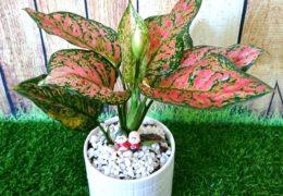 Cách trồng cây Vạn Lộc để tăng tài lộc cho gia chủ