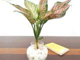 Cây Vạn Lộc thủy sinh cần lưu ý gì khi trồng và chăm sóc?