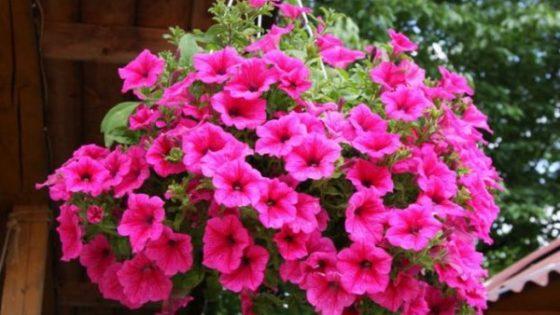 Hướng dẫn cách trồng hoa Dạ Yến Thảo từ hạt
