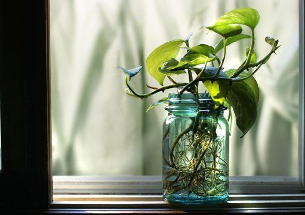 Lưu ý trước khi trồng kích thước chậu và tán cây phải phù hợp