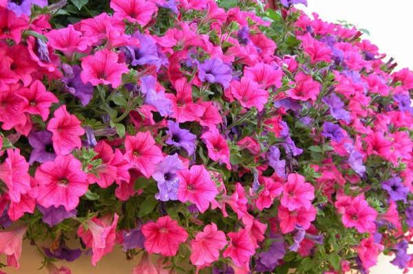 Cách trồng hoa dạ yến thảo cho không gian thêm nhiều sắc màu