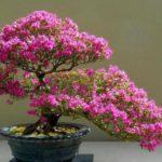 hoa-giay-bonsai-05