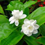 Cách trồng cây hoa nhài như một chuyên gia
