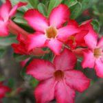 Cách trồng cây sứ bằng giâm cành và bí quyết cho nở hoa đúng hẹn