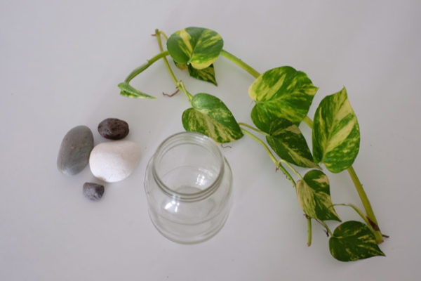Các bước chuẩn bị trước khi trồng cây trầu bà thủy sinh