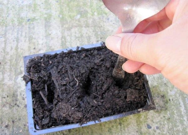 Cách trồng hoa Dạ Yến Thảo bằng cành và những lưu ý khi trồng