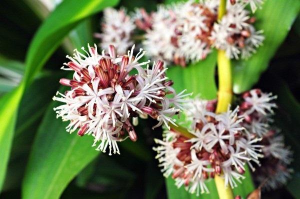 Cách trồng cây thiết mộc lan nở hoa thơm lừng khắp vườn